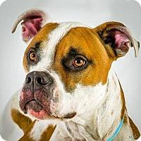 Boxer Mix Dog for adoption in Prescott, Arizona - Beefcake