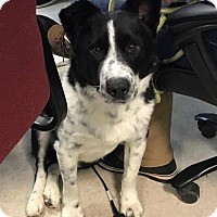 Border Collie/German Shepherd Dog Mix Dog for adoption in Maple Grove, Minnesota - Ash
