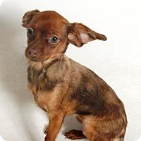 Adopt A Pet :: Tulip - Redding, CA