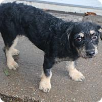 Adopt A Pet :: Arbuckle - Woonsocket, RI