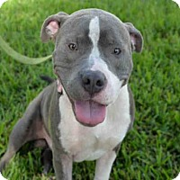 Adopt A Pet :: DODGE - West Palm Beach, FL