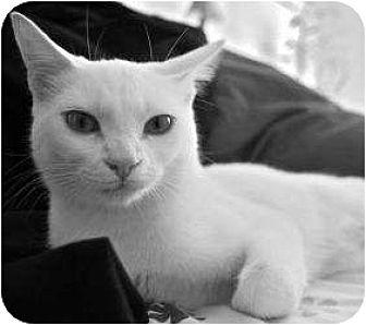 Domestic Shorthair Cat for adoption in Radford, Virginia - Farrah