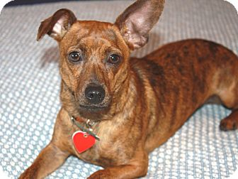 Dachshund/Chihuahua Mix Puppy for adoption in Los Angeles, California ...