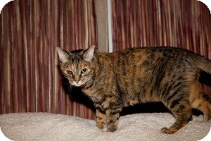 Domestic Shorthair Cat for adoption in Gilbert, Arizona - Sallie
