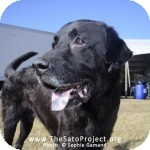 Labrador Retriever Mix Dog for adoption in Madison, New Jersey - Pasha