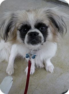 Pekingese/Papillon Mix Dog for adoption in Baton Rouge, Louisiana - Bandit
