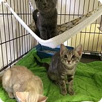 Adopt A Pet :: Kikoman - Byron Center, MI