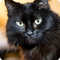 Domestic Longhair Cat for adoption in Chicago, Illinois - Princess