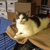 Domestic Shorthair Cat for adoption in Fairfax, Virginia - Charlie