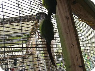 Conure for adoption in Christmas, Florida - Green Cheek Conure