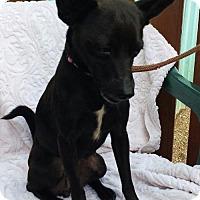 Chihuahua/Terrier (Unknown Type, Medium) Mix Puppy for adoption in Kansas City, Missouri - Cricket
