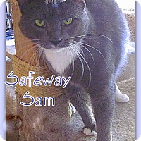 Domestic Shorthair Cat for adoption in Culpeper, Virginia - Safeway Sam