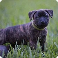 Adopt A Pet :: Mia Pup Kyra-16 - Lithia, FL