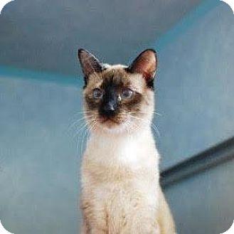 Siamese Cat for adoption in Denver, Colorado - Cinder
