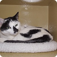 Domestic Shorthair Cat for adoption in Appleton, Wisconsin - Florence *Petsmart GB*