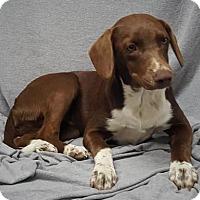Adopt A Pet :: Sugar - Champaign, IL