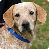Cattle Dog Mix Dog for adoption in Harrison, New York - Easton