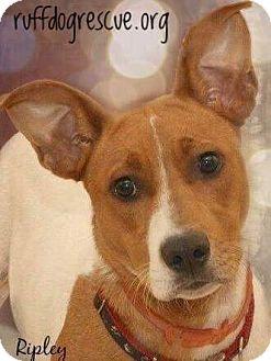 Pointer/Labrador Retriever Mix Dog for adoption in Milton, Georgia - Ripley