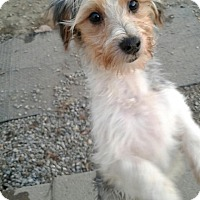 Adopt A Pet :: Mickey a Morkie - Freehold, NJ