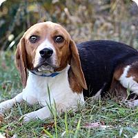 Adopt A Pet :: Percy - Waldorf, MD