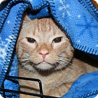 Domestic Shorthair Cat for adoption in Rochester, Minnesota - Runter