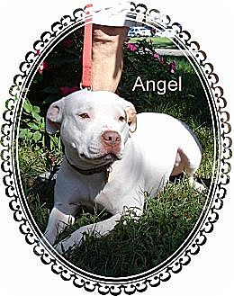 American Staffordshire Terrier Dog for adoption in Norfolk, Virginia - Angel