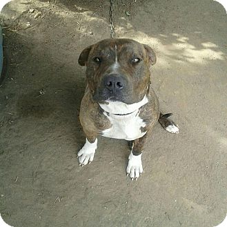 American Pit Bull Terrier Mix Dog for adoption in Yuba City, California - Chiko