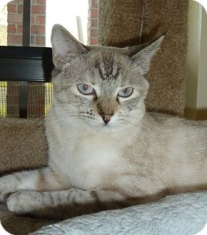 Siamese Cat for adoption in Lake Charles, Louisiana - Bree