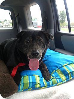 Labrador Retriever Mix Dog for adoption in Georgetown, Kentucky - Donald