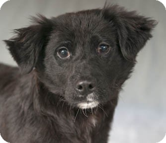 Anatolian Shepherd/Border Collie Mix Dog for adoption in Chicago ...