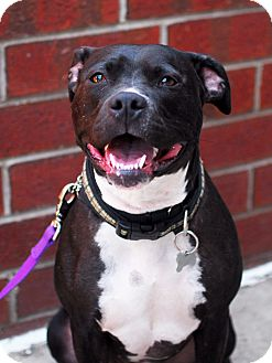 American Staffordshire Terrier Mix Dog for adoption in Detroit, Michigan - Meg-Adopted!