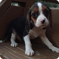 Adopt A Pet :: Ruger - Algonquin, IL
