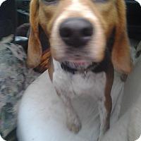 Adopt A Pet :: Beagle - Upper Sandusky, OH
