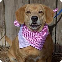 Labrador Retriever/Beagle Mix Dog for adoption in Apple Valley, California - Loosey