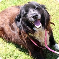 Adopt A Pet :: Becky - Chester Springs, PA