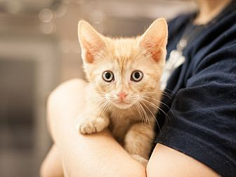 Domestic Shorthair Kitten for adoption in Dallas, Texas - Jerry