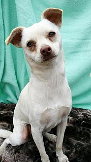 Chihuahua Dog for adoption in Pipe Creek, Texas - Kirby Toby