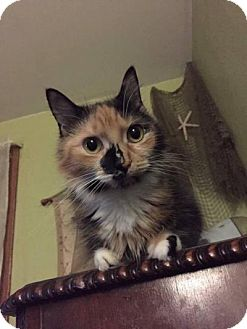 Domestic Shorthair Cat for adoption in Staten Island, New York - Gwendolyn