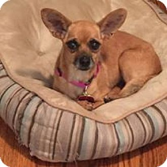 Chihuahua Dog for adoption in Shawnee Mission, Kansas - Sienna Sue