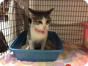 Domestic Shorthair Cat for adoption in Janesville, Wisconsin - Glacier