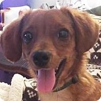 Dachshund Mix Puppy for adoption in Lexington, Kentucky - Harmony