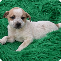 Shepherd (Unknown Type) Mix Puppy for adoption in Groton, Massachusetts - Brooks