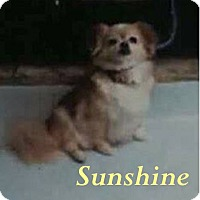 Tibetan Spaniel Mix Dog for adoption in Shreveport, Louisiana - Sunshine