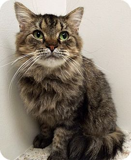 Domestic Longhair Cat for adoption in Plainfield, Illinois - Bebe