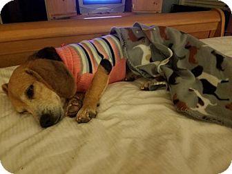 Beagle Dog for adoption in greenville, South Carolina - Dylan