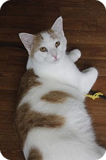 Domestic Shorthair Cat for adoption in Taylorsville, Indiana - Dexter