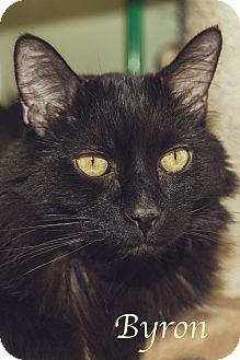 Domestic Longhair Cat for adoption in Manchester, New Hampshire - Byron-What a gentleman!