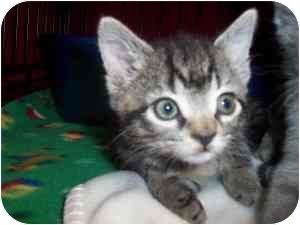 Domestic Shorthair Kitten for adoption in Frenchtown, New Jersey - Nelly