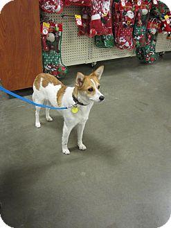 Basenji Mix Dog for adoption in Bellingham, Washington - Cindy
