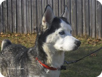 Husky Mix Dog for adoption in Orange Park, Florida - Star